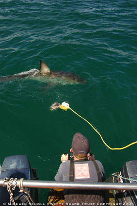 White Shark Trust - Field Research Assistant - November 2005