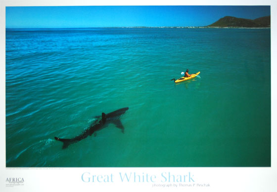 with a Great White Shark