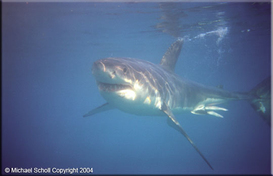 A Sex Camera at the White Shark Trust? One of the biggest challenges in the ...
