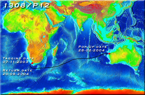 Nicole First Great White Shark Transoceanic Migration Between - Great white shark range us map